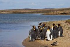 Король пингвины Moulting - Фолклендские острова Стоковое Изображение RF
