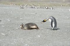 Король Пингвин-Мех Уплотнение стоковые фотографии rf