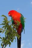 Король Попугай в Drouin Виктории Австралии Стоковая Фотография