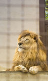 Король льва в зоопарке Стоковые Фотографии RF