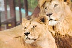 Король льва и его жена Стоковая Фотография