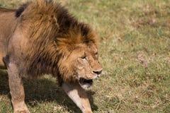 Король льва идя через открытые самолеты стоковые изображения