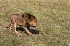 Король льва идя через открытые самолеты стоковое фото rf