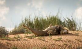 Король льва стоковое фото rf