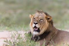 Король льва Стоковые Фото
