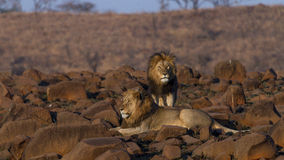 Король льва Стоковая Фотография RF
