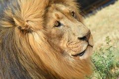 Король льва Стоковые Фотографии RF