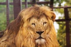 Король льва Стоковые Изображения