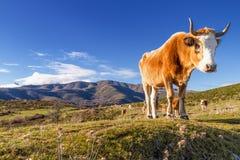 Корсиканская корова на Col de Сан Colombano Стоковые Фото