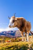 Корсиканская корова на Col de Сан Colombano Стоковые Изображения RF