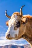 Корсиканская корова на Col de Сан Colombano Стоковое Изображение RF