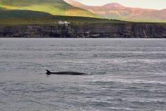 Косатка, Исландия Стоковые Изображения RF