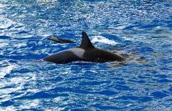 2 косатка или дельфин-касатки Стоковые Изображения RF