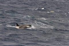 Косатка пробивая брешь в Антарктике Стоковые Изображения RF