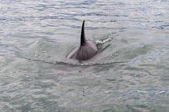 Косатка Orcinus дельфин-касатки латинская - морское млекопитающее стоковое фото