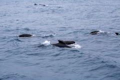 Косатки, пилотные киты Стоковые Изображения RF
