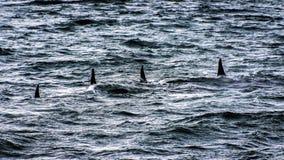 Косатки - шатия моря стоковые изображения rf