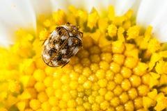 Космополитический жук стоковое фото rf
