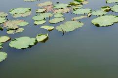 Космос воды среди листьев лотоса Стоковая Фотография
