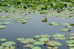 Космос воды среди листьев лотоса Стоковые Изображения RF