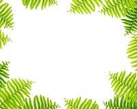 Космос крупного плана белый в центре  рамки зелеными листьями папоротника изолированными на белой предпосылке Стоковые Изображения RF