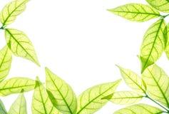 Космос крупного плана белый в центре  рамки свежими листьями зеленого цвета изолированными на белой предпосылке Стоковое Изображение