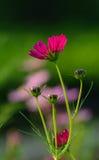 Космос цветет на плантации цветка в Dong Thap, Вьетнаме Стоковые Изображения RF