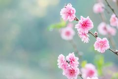 Космос цветка и экземпляра для текста весны украшает дырочками вишневые цвета Стоковые Фото