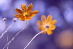 Космос цветка с красивые тонизировать и пятнать Художническое изображение Стоковое Изображение RF