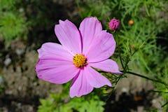 Космос цветка Стоковые Фотографии RF