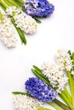 Космос экземпляра карточки праздника пасхи весны взгляд сверху предпосылки голубых и белых гиацинтов красивой предпосылки цветка  Стоковая Фотография RF