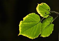 коснутые листья заморозка Стоковые Изображения RF