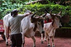 Костариканская тележка вола Стоковое фото RF
