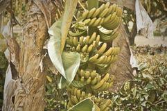 Костариканский сбор банана Стоковая Фотография