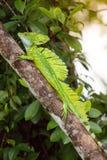 Коста-Рика, игуана Стоковая Фотография