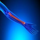 Косточка анатомии радиуса с системой Ciculatory Стоковое Фото