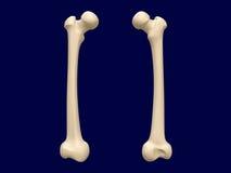Косточка бедренной кости бесплатная иллюстрация