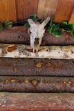 Косточка белых больших черепов буйвола головная Стоковая Фотография
