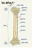 Косточка человека анатомии Стоковое Фото