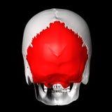 косточка occipital Стоковая Фотография RF