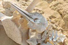 Косточки дельфина и кита на пляже пустыни Namibe anisette Стоковое Изображение RF