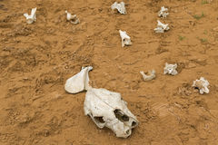 Косточки динозавра в временном sandpit косточки на накидке Otway Nationa Стоковые Изображения RF