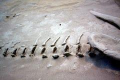 Косточки динозавра Стоковое Изображение