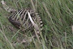 Косточки мертвого животного стоковое фото rf