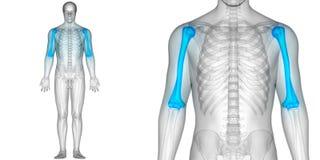 Косточки Humerus анатомии совместных болей косточки человеческого тела Стоковое Фото