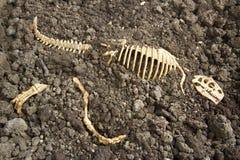 Косточки Rex тиранозавра стоковое фото