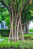 Костыли деревьев используемые для moving деревьев Стоковое Изображение RF