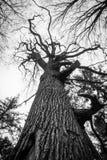 Костлявое старого мертвого дуба черно-белое стоковые фотографии rf