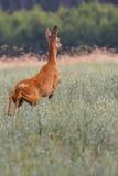 Косул-олени на беге в одичалом Стоковое Изображение RF