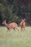 Косул-олени с оленями самца оленя в расчистке Стоковая Фотография RF